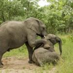 elephant-photo-drunk-on-fruit