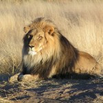 Lions in Africa Need Protection According to US Government