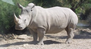 Endangered Rhinos offered new Sanctuary by Texans