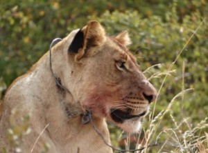 Lion wearing a snare illustrates threat posed by subsistence poachers