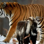 tiger-and-goat-
