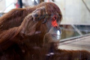Orangutans in Melbourne Zoo playing interactive videogames using Xbox technology