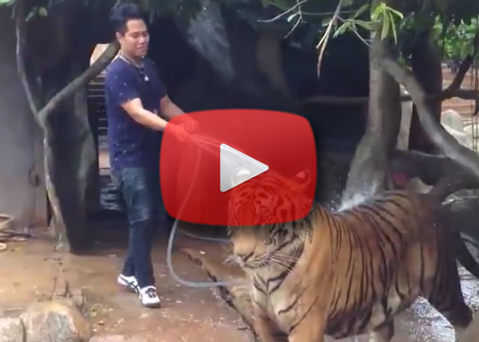 tiger-bath-video