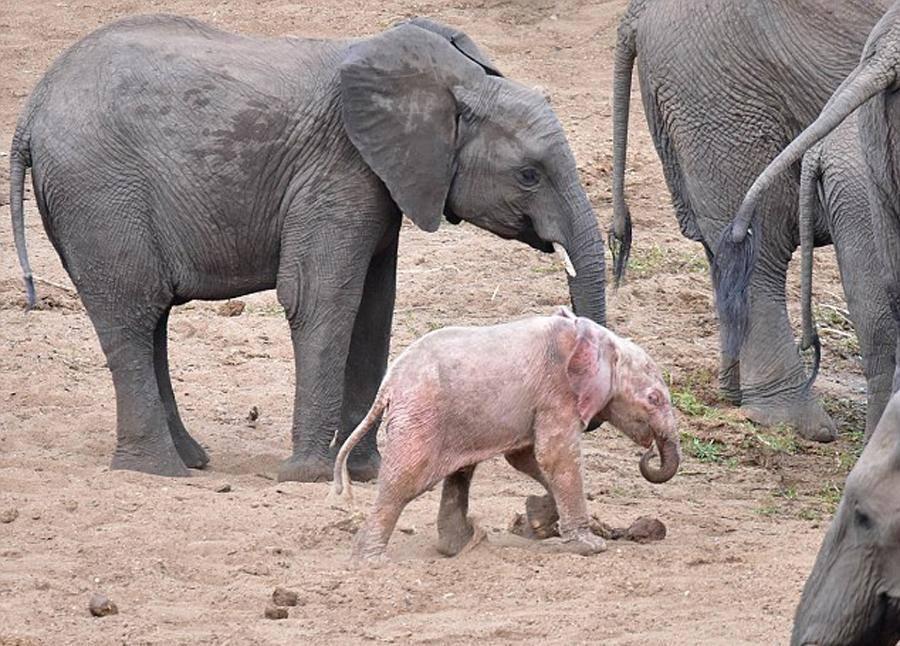 albino-baby-elephant