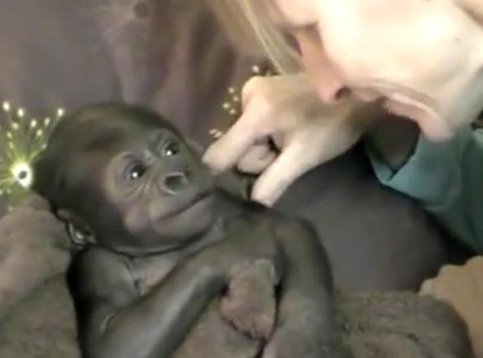baby-gorilla-video
