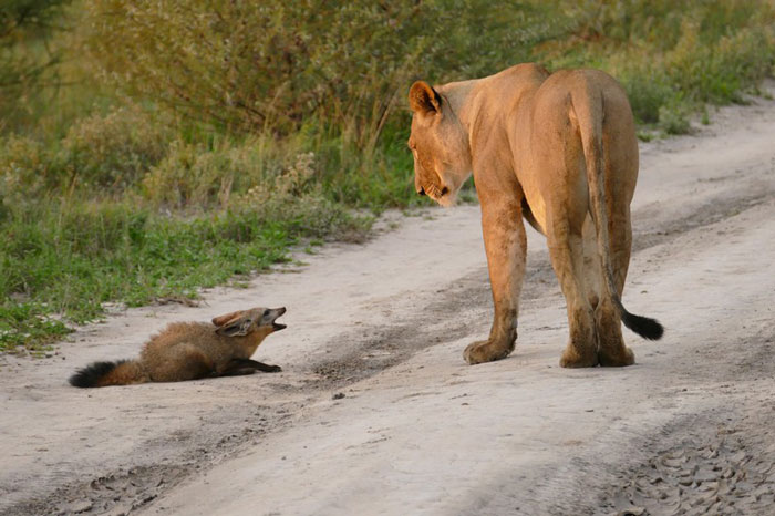lion fox